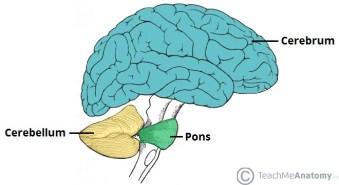 anatomical-position-cerebellum